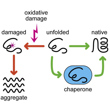 How Do Chaperones Protect a Cell's Proteins from Oxidative Damage?: Cell  Systems