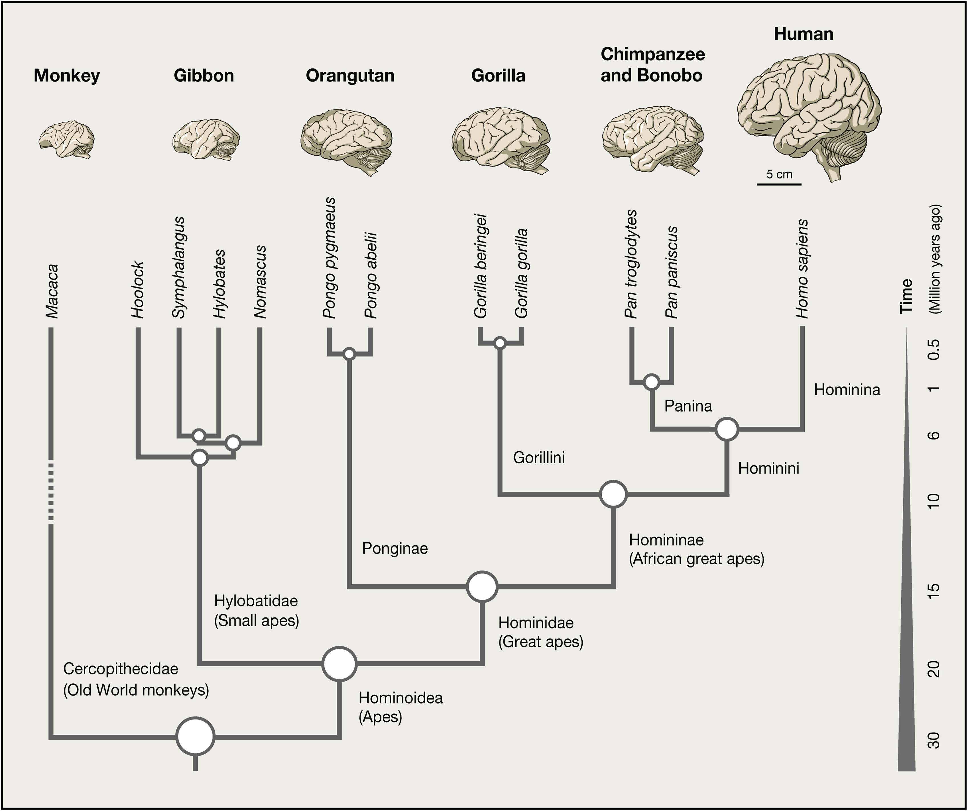 Evolution Of The Human Nervous System Function Structure