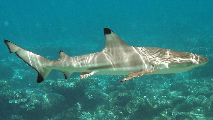 shark malaysia