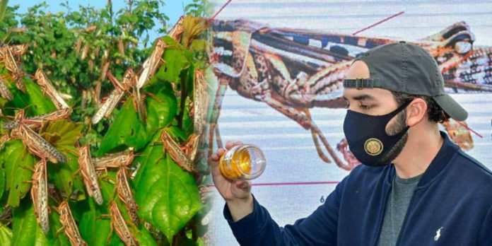 Autoridades se preparan ante una posible nueva ola de plaga de langostas voladoras