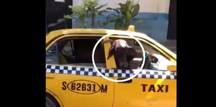 Elementos de la PNC capturan a taxista por hurto de ganado en San Miguel