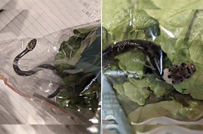 Pareja encuentra serpiente venenosa dentro de una bolsa de lechuga de supermercado
