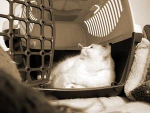 Revisión Veterinaria Felina
