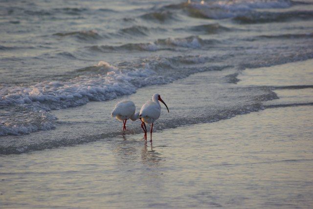 Ibis walking on the beach