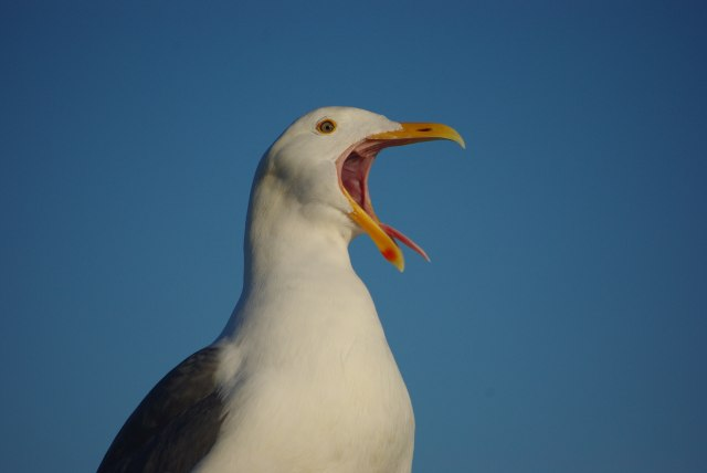 Seagull with mouth open and tongue out