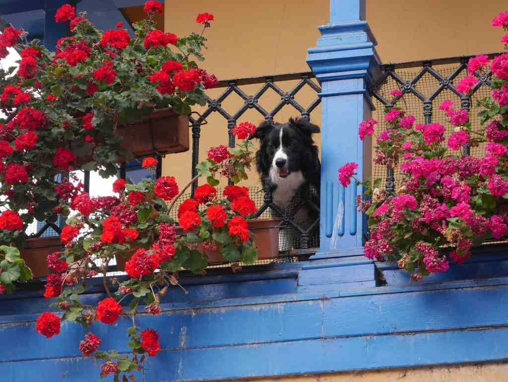 Balcony dog in Oviedo