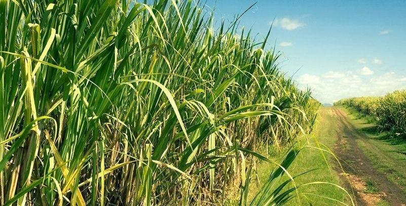 Cañeros en apuros:Para comercializar caña de azúcar será obligatoria realizar comprobantes electrónicos