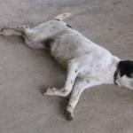 sueños con mascotas muertas