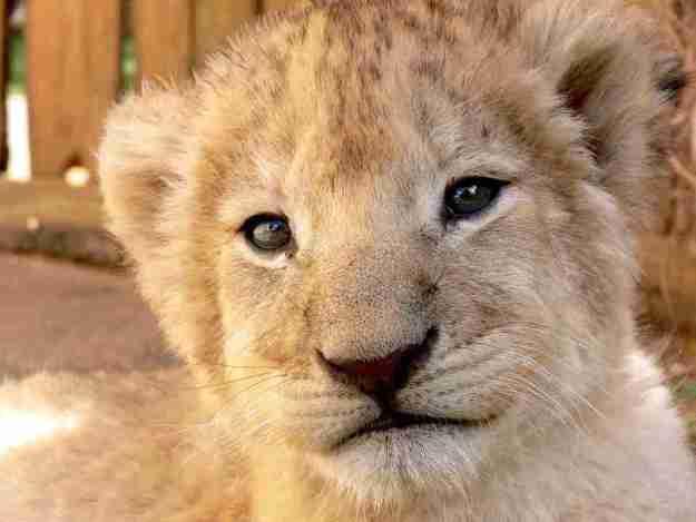 soñar con leones jugando
