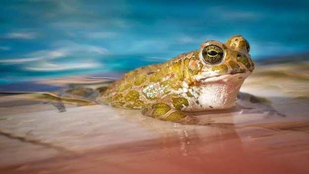 soñar con ranas grandes
