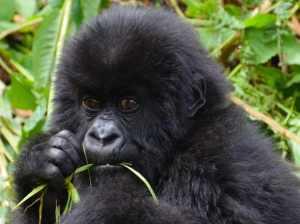 monos y simios bebés en los sueños