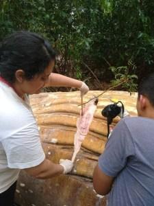 Ballena en Amazonas