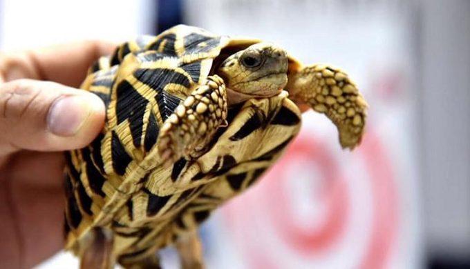 Todas las tortugas salvajes están protegidas por la ley. Foto cortesía