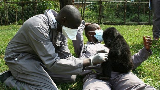 """El vice director del parque dice que los gorilas crecieron considerando a los guardabosques """"sus padres"""". Foto cortesía"""