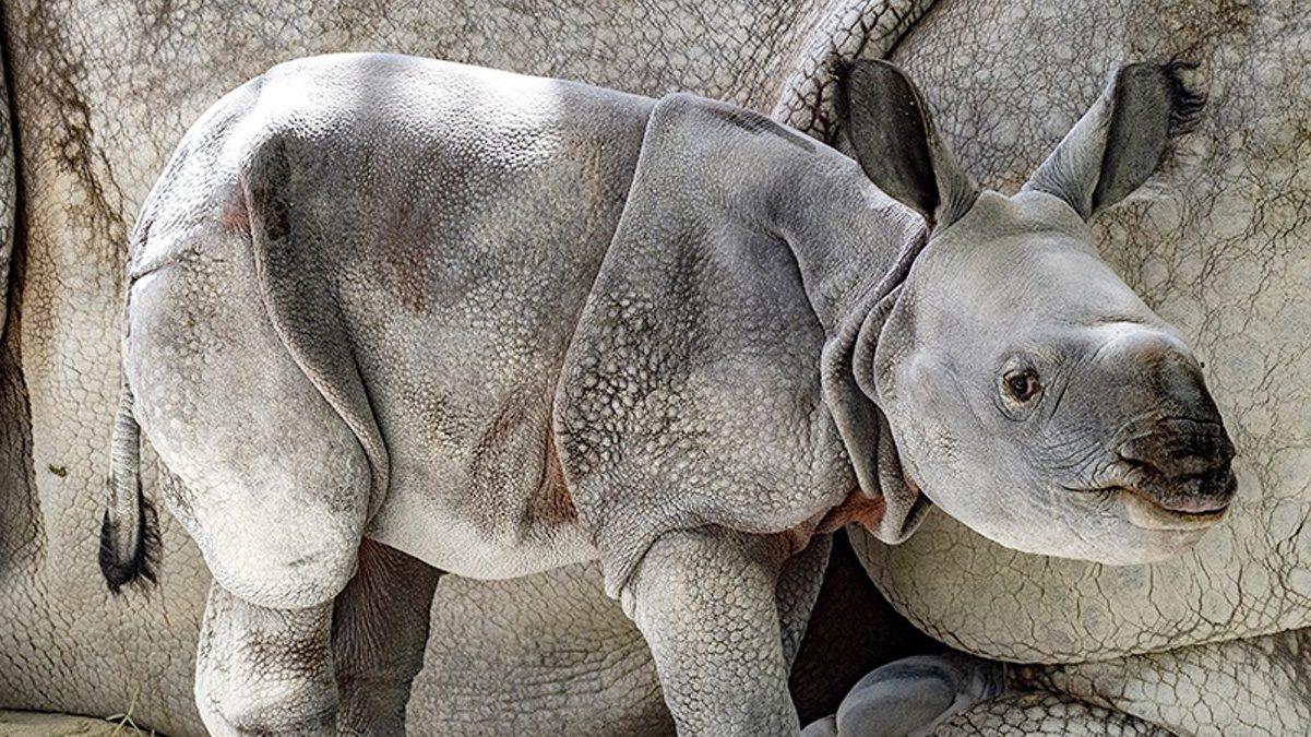 El Rhinoceros unicornis es una de las tres especies de rinocerontes que existen actualmente en Asia. Foto cortesía