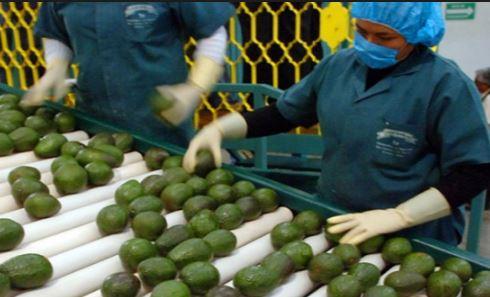 Exportación de aguacate a Estados Unidos atraerá a productores al Congreso Latinoamericano