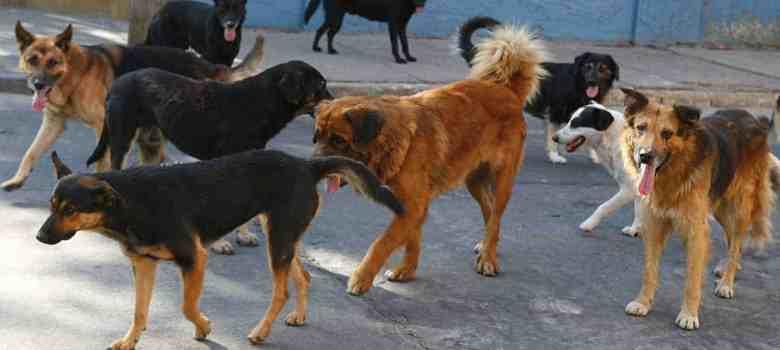 En Autlán; incrementa problemática de perros callejeros