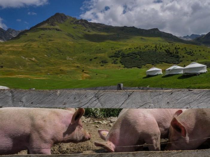 Schweine auf dem Agritourismushof Cotti