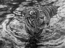 tigerwatersm