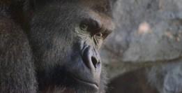 Pablo Marcos M.S. / Gorila de costa [Gorilla gorilla] en Bioparc Valencia. Publicado en El Último Cebro