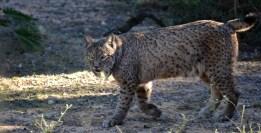 Pablo Marcos M.S. / Lince ibérico[Lynx pardinus] en Zoobotánico Jerez. Publicado en El último cebro