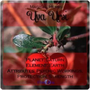 Uva Ursi Magical Meaning | Uva Ursi Magical Properties | Magical Herbs - Elune Blue