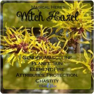 Witch Hazel Magical Meaning | Witch Hazel Magical Properties | Magical Herbs - Elune Blue