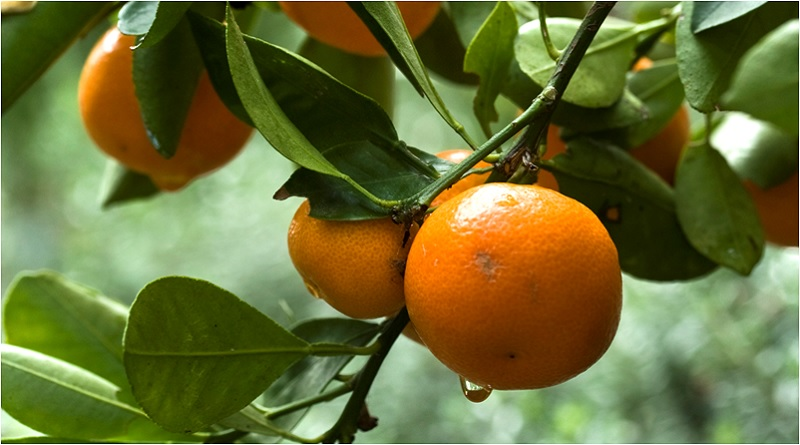 The Fruit of Joy: Orange Magical Properties and Uses — Magical Herbs