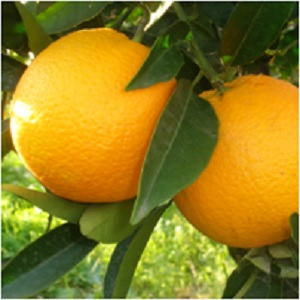 Medicinal Uses and Health Benefits of Oranges