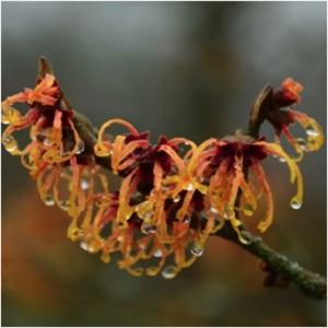 The Winter's Bloom: Witch Hazel Magical Properties and Uses