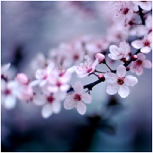 The Geisha's Flower: Cherry Blossom Magical Properties and Uses -- Magical Herbs