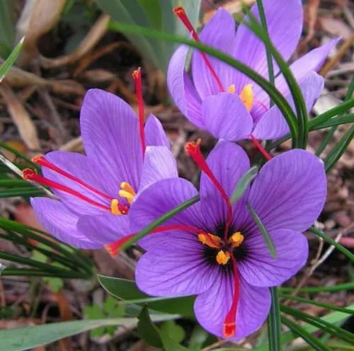 Saffron Crocus Bulbs from American Meadows