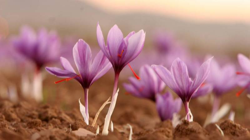 Drinking liquid that contains saffron can help with envisioning the future.  It enhances psychic power and increases the potency of spell work, and can also help strengthen protection spells and charging of energy. -- Saffron Magical Properties and Uses