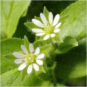 The Enduring Herb: Chickweed Magical Properties and Uses -- Magical Herbs