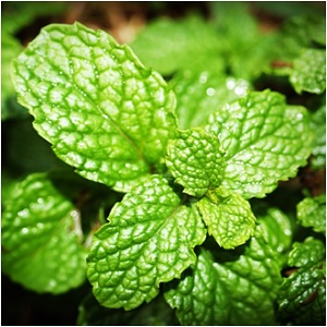 Mint Leaf Herb - Mint Magical Properties and Uses - Elune Blue (300x300)