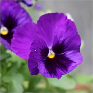 Violet can be used in spells to attract and raise your good fortune when it comes to love. This magic is especially potentiated when you add lavender to the mix. Make sure to gather the first violet you see in the spring, as it has the power to grant wishes. Carry violet for an added measure of protection. -- Violet Magical Properties and Uses #Imbolc