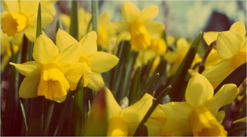 The blooming of daffodils are intimately connected to many spring festivals throughout the world – including Ostara. -- Daffodil Magical Properties and Uses