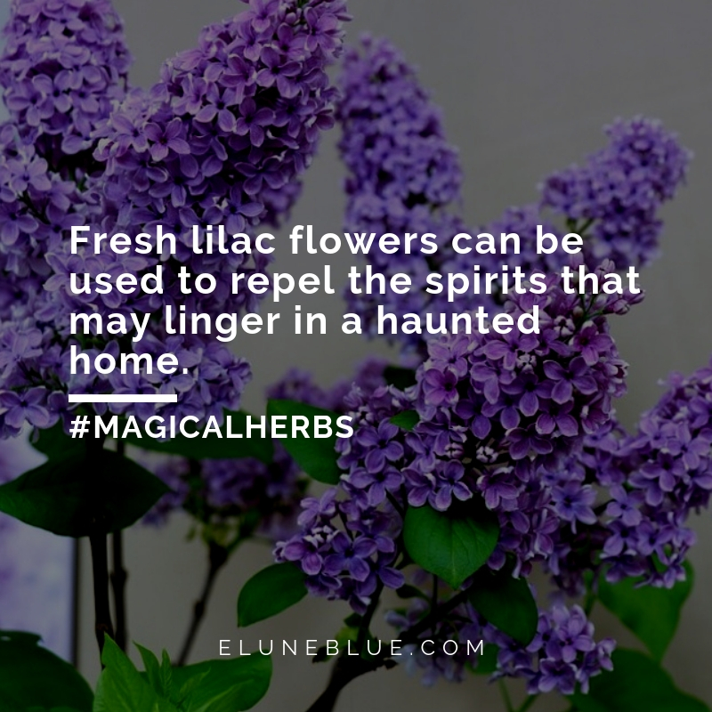 Fresh lilac flowers can be used to repel the spirits that may linger in a haunted home. -- Lilac Magical Properties and Uses