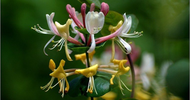 Honeysuckle and the Gift of Happiness | Mystical Musings