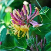 The Hummingbird's Joy: Honeysuckle Magical Properties and Uses -- Magical Herbs