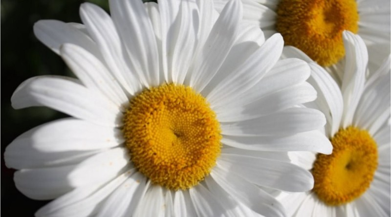 Shasta Daisies Close Up | Caring for Daisy