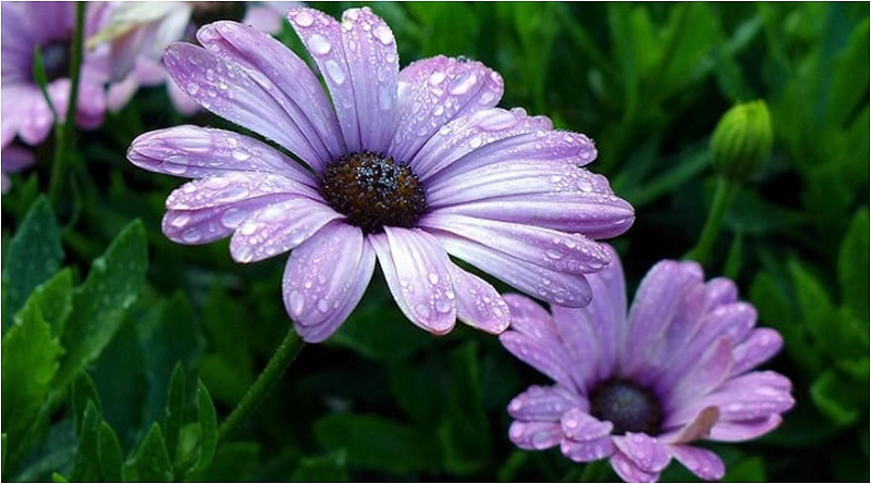 African daisies bloom late in the summer as they prefer the cooler temperatures found in the late summer season. | Caring for Daisies