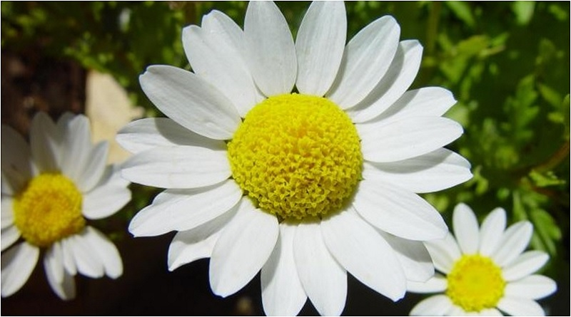 Shasta daisies are named for Mount Shasta, as their brilliant white petals resemble the color of freshly-fallen snow. | Caring for Daisies