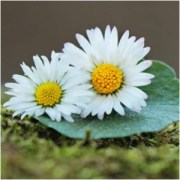 Daisy Flower Symbolism and Meaning | The Spirit of Daisy