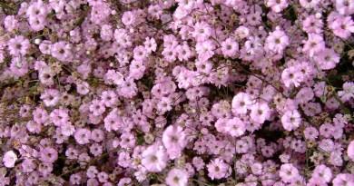 Gypsophila paniculata (Bristol Fairy) Pink Baby's Breath