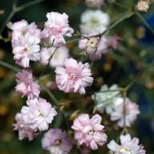 Gypsophila repens (Pink Baby's Breath Flower)