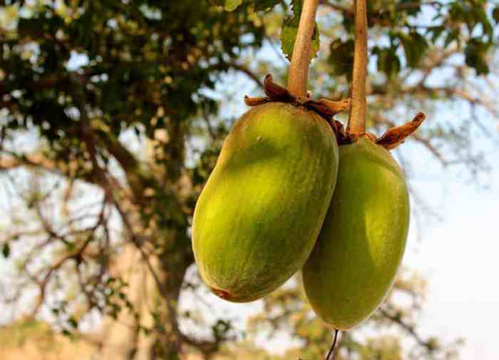 Boabab-Fruit