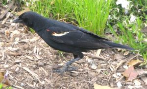 agelaius_phoeniceus_-_red-winged_blackbird_-_desc-side_view_on_mulch_and_grass_-_from-dc1