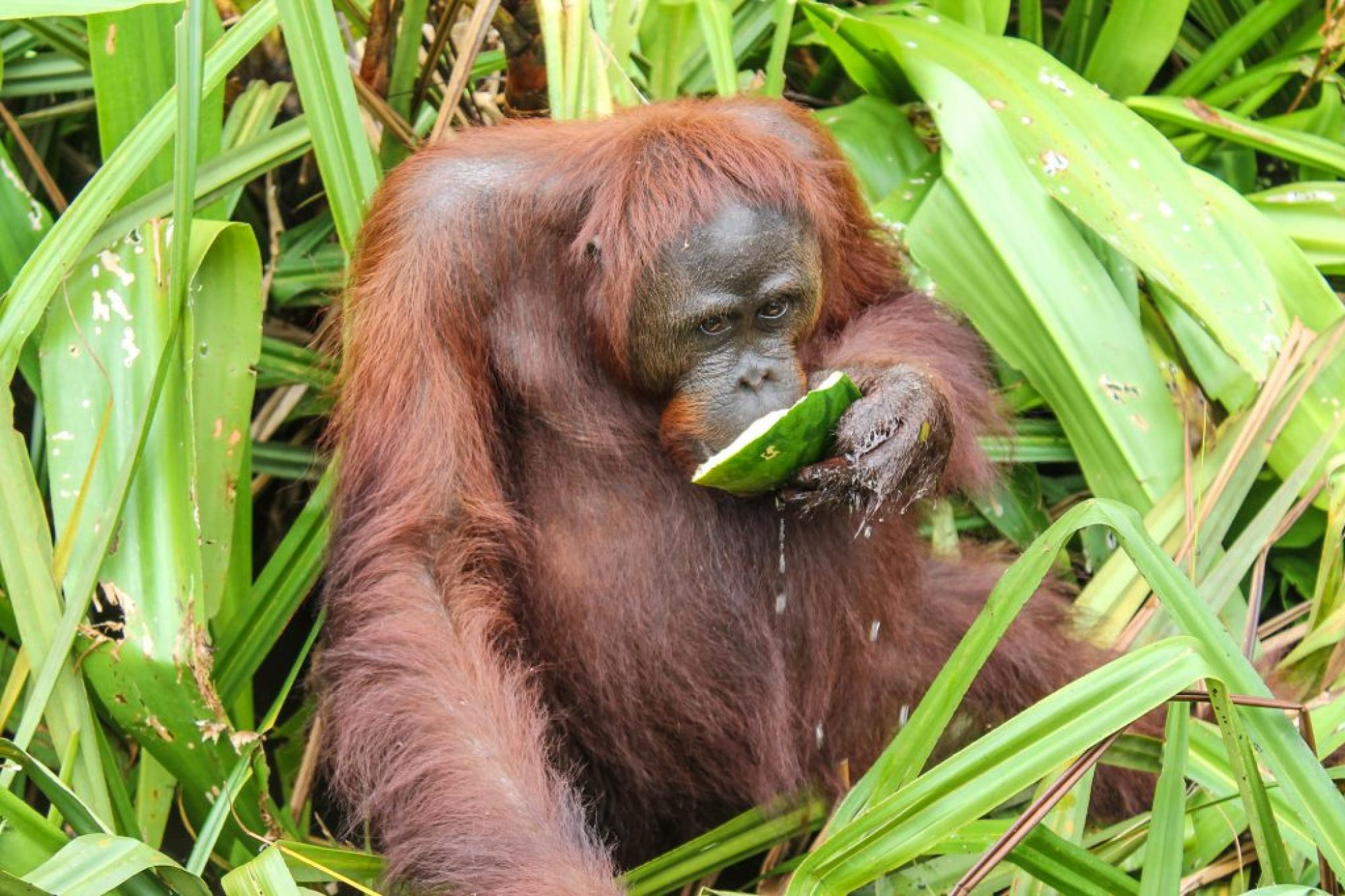 orangutanes-en-borneo-30