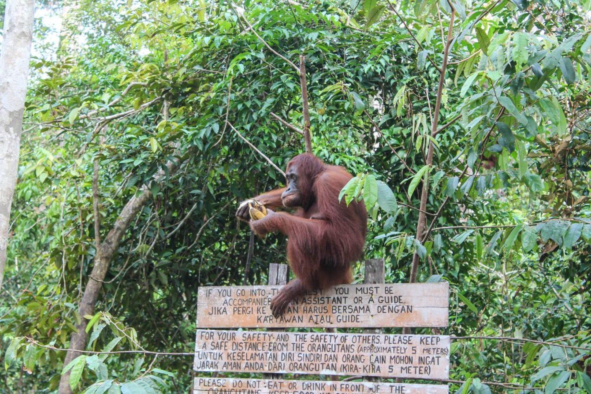 orangutanes-en-borneo-42